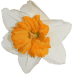 Jonquil Narcissus Jewelry Candle